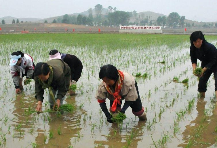 Farmers knee-deep in water, planting rice on a co-op farm in North Korea