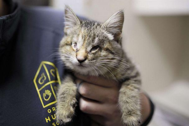 PHOTO: Ilene the kitten was found wrapped in a pile of trash by a good Samaritan in California and brought to the Oregon Humane Society. She has a condition which resulted in her blindness. (Oregon Humane Society)
