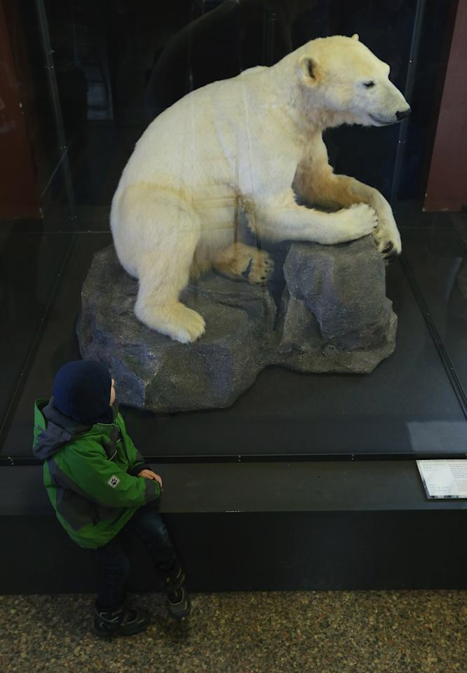 BERLIN, GERMANY - FEBRUARY 16:  A child looks at a model of Knut the polar bear, that features Knut's original fur, on the first day it was displayed to the public at the Natural History Museum on February 16, 2013 in Berlin, Germany. Though Knut, the world-famous polar bear from the Berlin zoo abandoned by his mother and ultimately immortalized as a cartoon film character, stuffed toys, and more temporarily as a gummy bear, died two years ago, he will live on additionally as a partially-taxidermied specimen in the museum. Until March 15, the dermoplastic model of the bear will be on display before it joins the museum's archive, though visitors can see it once again as part of a permanent exhibition that begins in 2014.  (Photo by Sean Gallup/Getty Images)