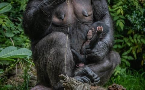 There are only 18,000 West African chimps left in the wild - Credit: Chester Zoo