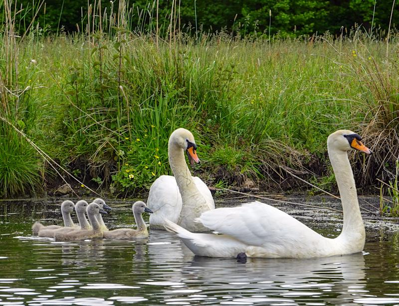 30 May 2020, Brandenburg, Beeskow: Mute swans (Cygnus olor) with five young swim on the Spree. Photo: Patrick Pleul/dpa-Zentralbild/ZB (Photo by Patrick Pleul/picture alliance via Getty Images)