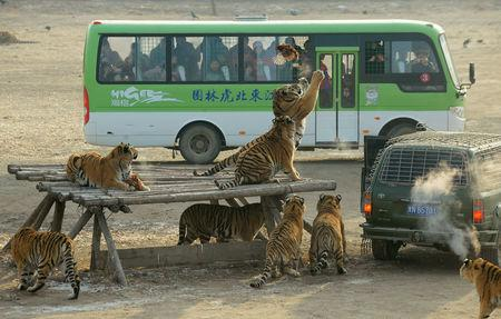 FILE PHOTO: Visitors watch from a bus as Siberian tigers try to catch a chicken at the Siberian Tiger Park in Harbin, Heilongjiang province, China December 27, 2011.  REUTERS/Sheng Li/File Photo