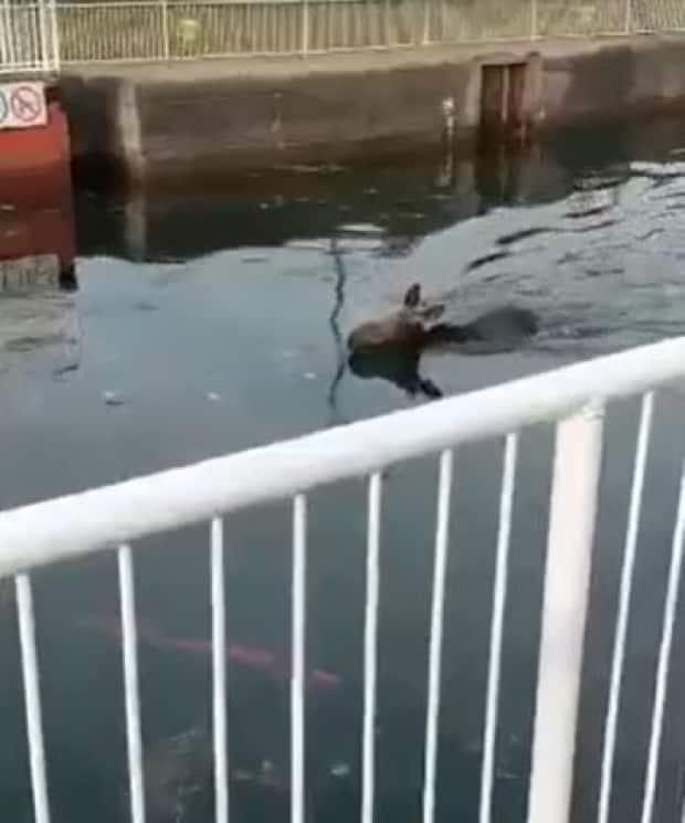 A moose seen struggling in the St. Mary's River  (from Facebook: @Sault Ste. Marie Tourism - image credit)