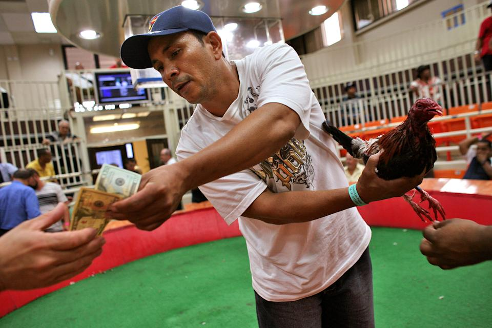 An owner of a loosing rooster pays his bet as the cockfight judge removes sharp plastic spurs from the defeated bird at Las Palmas, a government-sponsored cockfighting club in Bayamon, Puerto Rico. (AP Photo/Ricardo Arduengo)