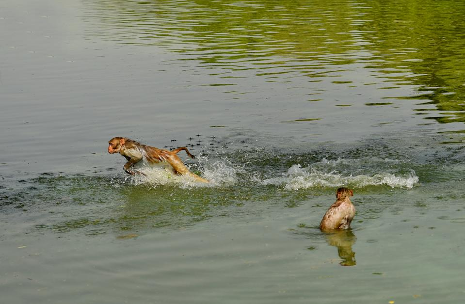 NEW DELHI, INDIA - JUNE 3: Monkeys cool off in a pond, near Rajpath on June 3, 2019 in New Delhi, India. Heatwave conditions abated in Delhi, but high humidity added to the discomfort of the people. The maximum temperature was 40.6 degrees Celsius, normal for this time of the year, and the minimum was 29.4 degrees Celsius. Humidity levels oscillated between 39 and 62 per cent. (Photo by Amal KS/Hindustan Times via Getty Images)