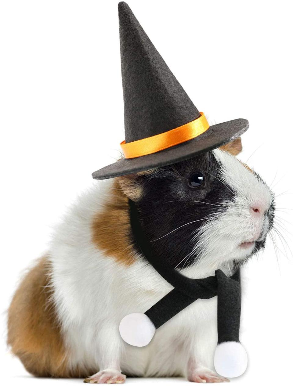 Guinea pig wears black Halloween Wizard Hat with Scarf.