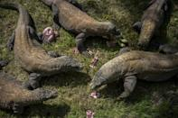 Nowhere to run: Komodo dragons have a limited habitat (AFP/JUNI KRISWANTO)