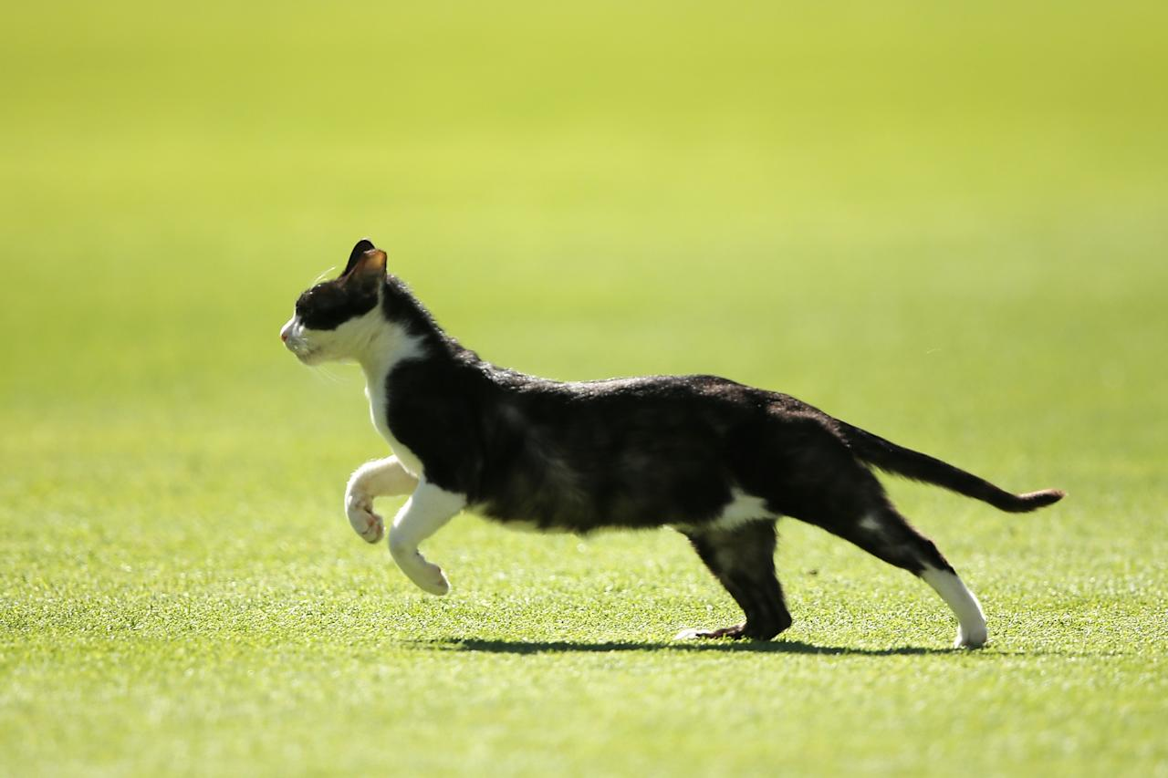 PORT ELIZABETH, SOUTH AFRICA - FEBRUARY 22:  A black cat runs across the oval during day three of the Second Test match between South Africa and Australia at AXXESS St George's Cricket Stadium on February 22, 2014 in Port Elizabeth, South Africa.  (Photo by Morne de Klerk/Getty Images)