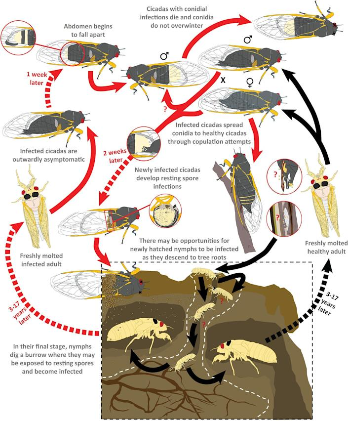 A graph highlights the life of a cicada infected with Massospora. / Credit: West Virginia University