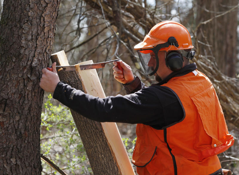Nate Siegert of the U.S. Forest Service peels bark from an ash tree looking for signs of infestation from the emerald ash borer in Rhinebeck, N.Y., on Thursday, April 12, 2012.  The invasive beetle that has destroyed tens of millions of ash trees over the past decade has been found east of the Hudson River for the first time, marking its closest known threat to New England. (AP Photo/Mike Groll)