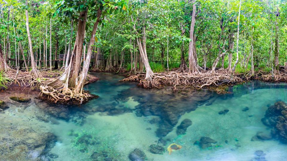 Jungle river in Thapom mangrove forest, Krabi, Thailand. Credit:  Pakin Songmor. Moment. Getty Images