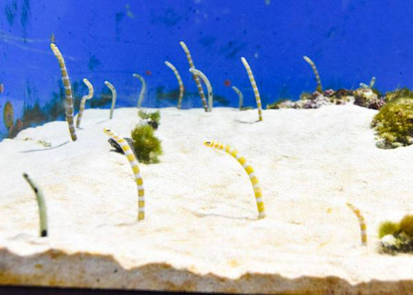 ▲ Finally there is the Asia area. Here I wanted to see the spotted garden eel and the splendid garden eel. I found the sight of a group of these spotted garden eels partially emerged from the sand and swaying in unison very comforting.
