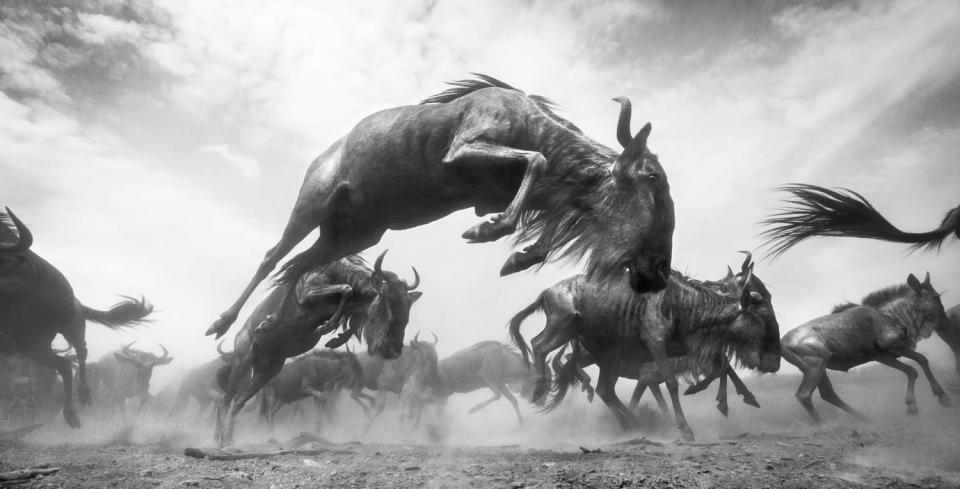 <p>Anup Shah won a second honor from this year's contest, earning an honorable mention in the Wildlife category for his photo of wildebeests bucking through Maasai Mara National Reserve. </p>