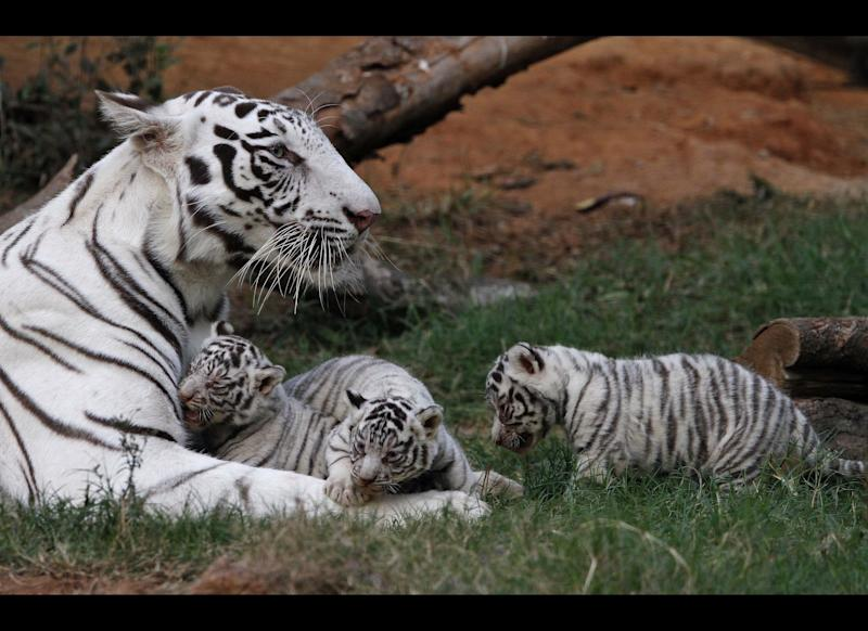 Khushi, a white tigress, rests with her newborn cubs at the state zoological park in Gauhati, India, Saturday, Feb. 11, 2012. Khush gave birth to three cubs on Jan. 6. (AP Photo/Anupam Nath)