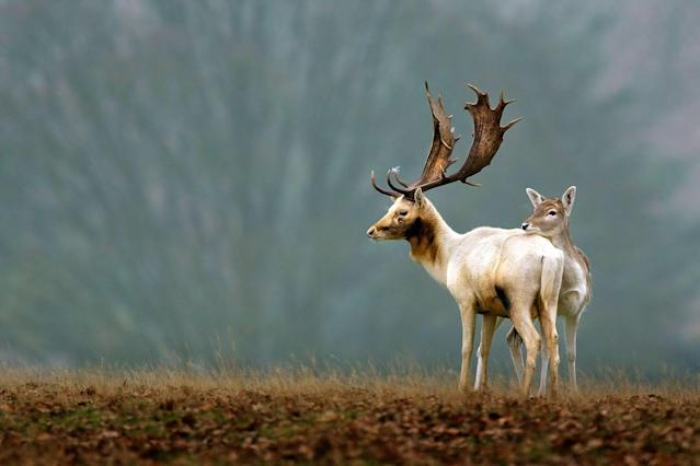 <p>Some white deer in Richmond Park in London. (Photo: Mark Bridger/Caters News) </p>