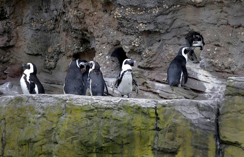 Penguins line a ledge of their enclosure at the New York Aquarium, in the Coney Island section of the Brooklyn borough of New York, Friday, May 24, 2013. (AP Photo/Richard Drew)