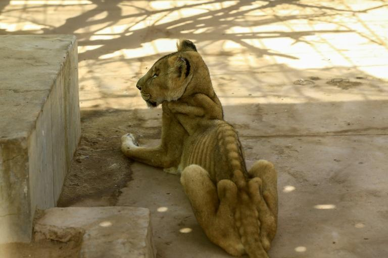 For weeks now, five lions held at Khartoum's Al-Qureshi Park in an upscale district of the capital have been suffering from shortages of food and medicine (AFP Photo/ASHRAF SHAZLY)