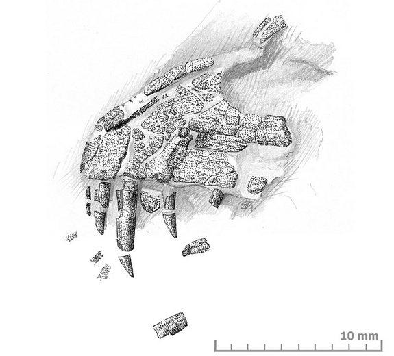 An illustration of embryonic Torvosaurus bones found in a fossilized nest in Portugal.