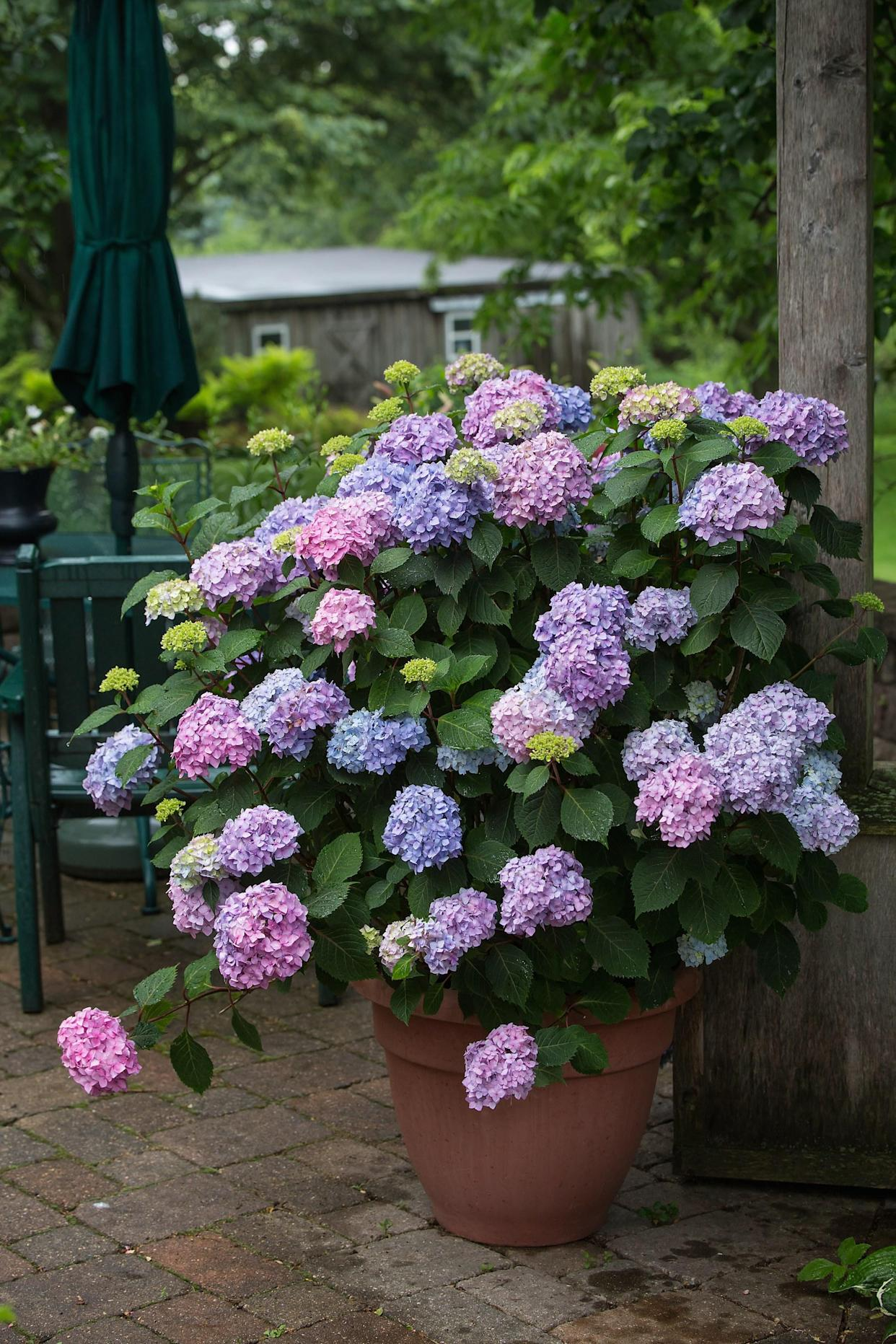 "<div class=""caption""> BloomStruck hydrangeas. </div> <cite class=""credit"">Photo: Tracy Walsh (courtesy of Bailey Nurseries)</cite>"