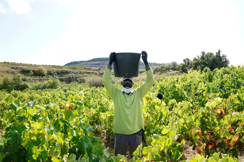 FILE PHOTO: A wine industry worker wearing a face mask collects grapes amid the coronavirus disease (COVID-19) outbreak in Samaniego