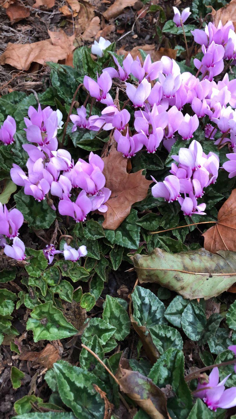 <p>A popular hardy perennial, cyclamen hederifolium blooms in the fall. </p><p><strong>Zones: 5-9</strong></p>