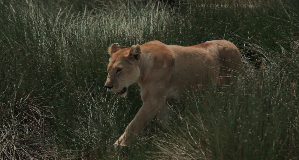 Tanzania, Africa - Lioness walks through the marsh grass.