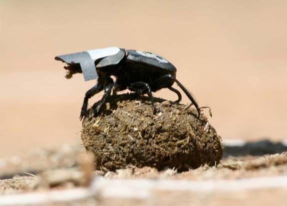 Researchers fitted some dung beetles with cardboard caps to keep their eyes on the ground, finding they had more difficulty navigating a circular arena when their view of the sky was blocked.