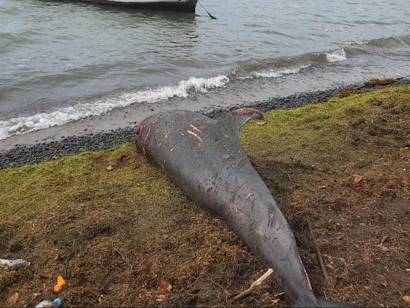 One of the dead dolphins found on the Mauritius beach near the site of the Wakashio oil spill. (Reuters)