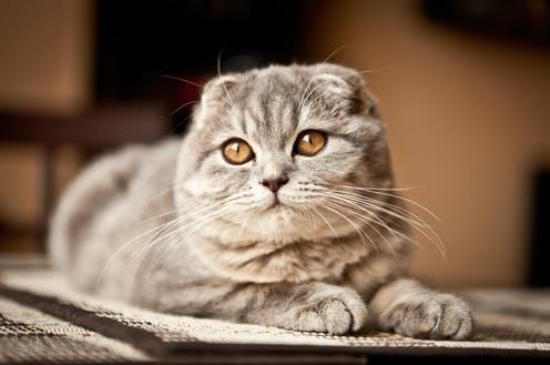 """<span class=""""caption"""">Breeds with exaggerated features include the Scottish fold.</span> <span class=""""attribution""""><a class=""""link rapid-noclick-resp"""" href=""""https://www.shutterstock.com/image-photo/lovable-scottish-fold-cat-271425959"""" rel=""""nofollow noopener"""" target=""""_blank"""" data-ylk=""""slk:Andrey Tairov/Shutterstock"""">Andrey Tairov/Shutterstock </a></span>"""