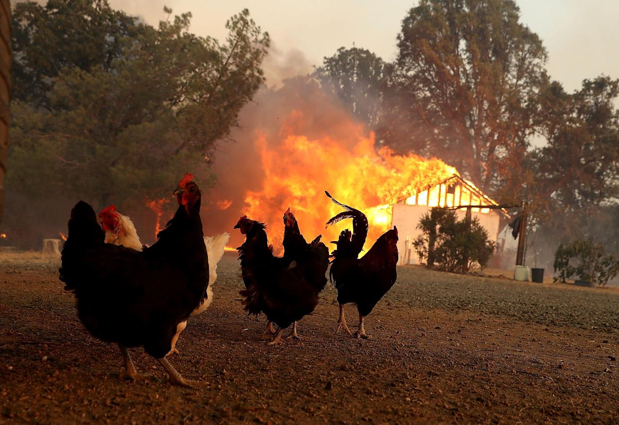 Chickens stand near a burning home as the River Fire moves through the area.