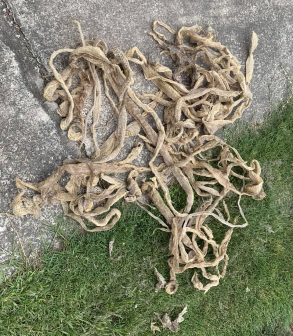 A pile of snake skins is pictured.