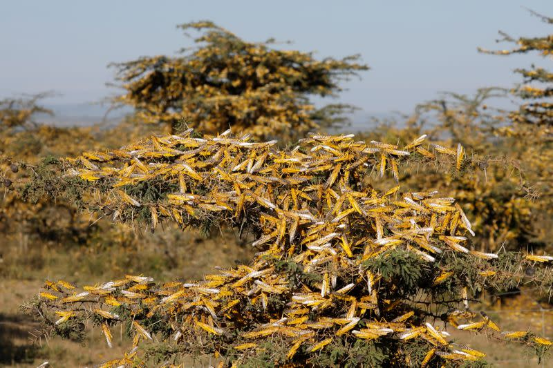 Desert locusts are seen on a tree at a ranch near the town on Nanyuki in Laikipia county