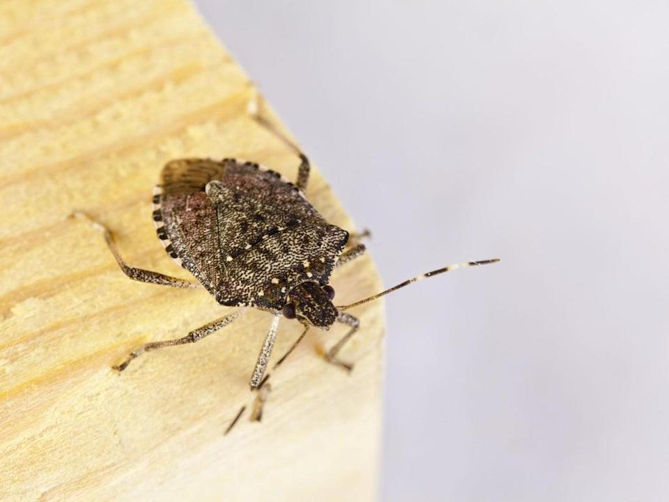 The adult brown marmorated stink bug is a little over a half inch in length and about as wide (Getty/iStock)