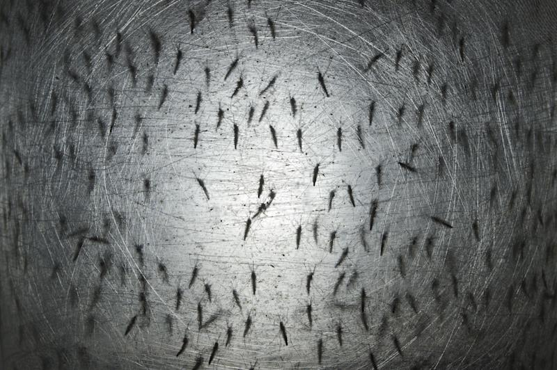 File picture shows transgenic Aedes aegypti mosquitoes in a container at a laboratory of biotech company Oxitec, in Campinas, Brazil, on August 21, 2014