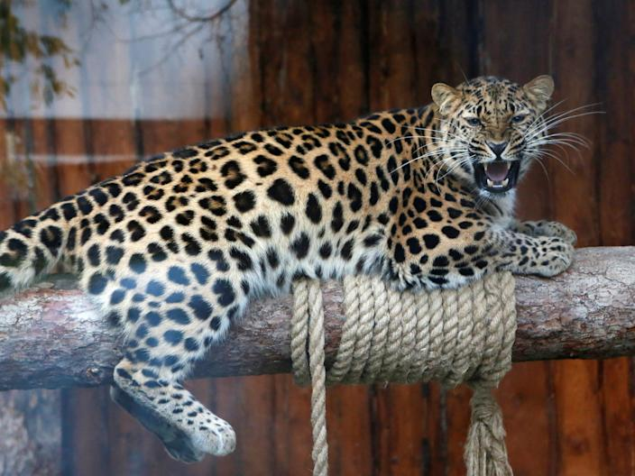 The Amur Leopard is the most critically endangered species in the world.