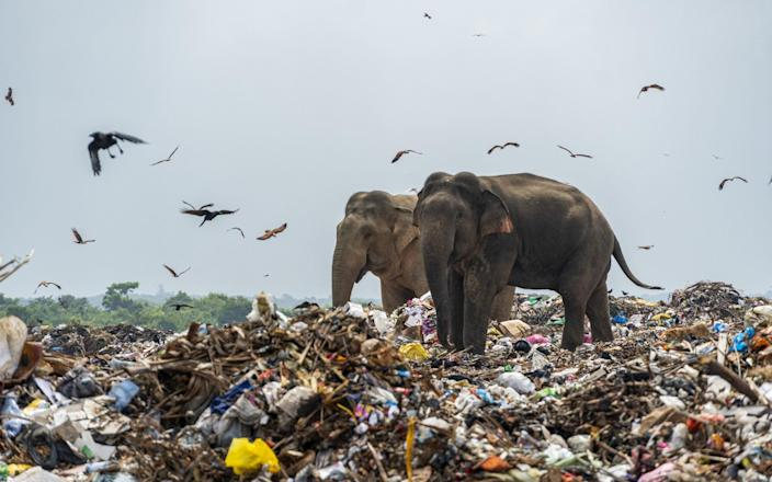 Elephants foraging for food on a refuse facility - Tharmaplan Tilaxan/Cover Images