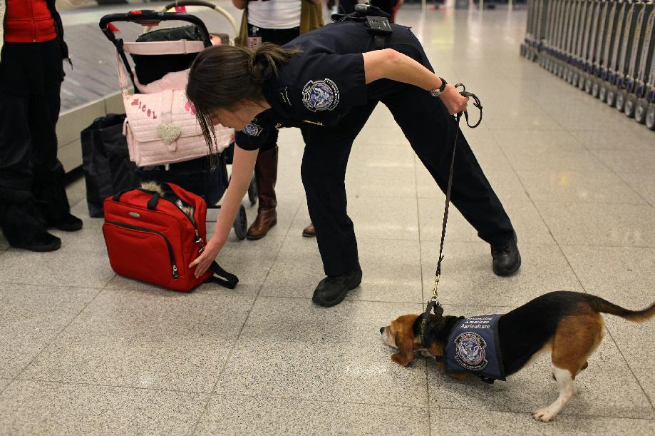 In this Feb. 9, 2012 photo, Meghan Caffery, a U.S. Customs and Border Protection Agriculture Specialist, works with Izzy, an agricultural detector beagle whose nose is highly sensitive to food odors, as the dog detects food in incoming baggage at John F. Kennedy Airport's Terminal 4 in New York. This U.S. Customs and Border Protection team works to find foods and plants brought in by visitors that are considered invasive species or banned products, some containing insects or larvae know to be harmful to U.S. agriculture. (AP Photo/Craig Ruttle)