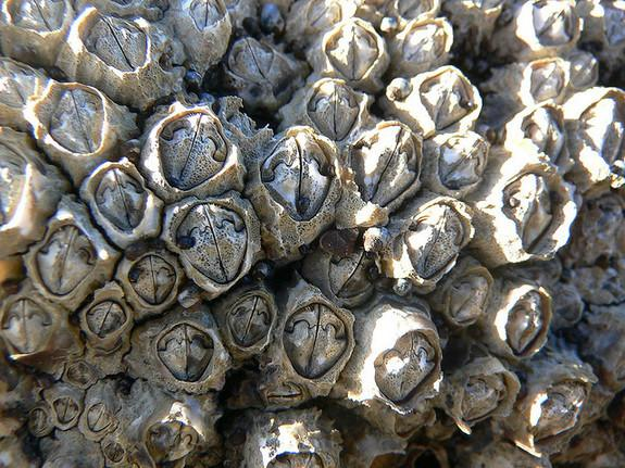 Barnacles use both an extremely long penis and broadcast sperm to mate with other barnacles