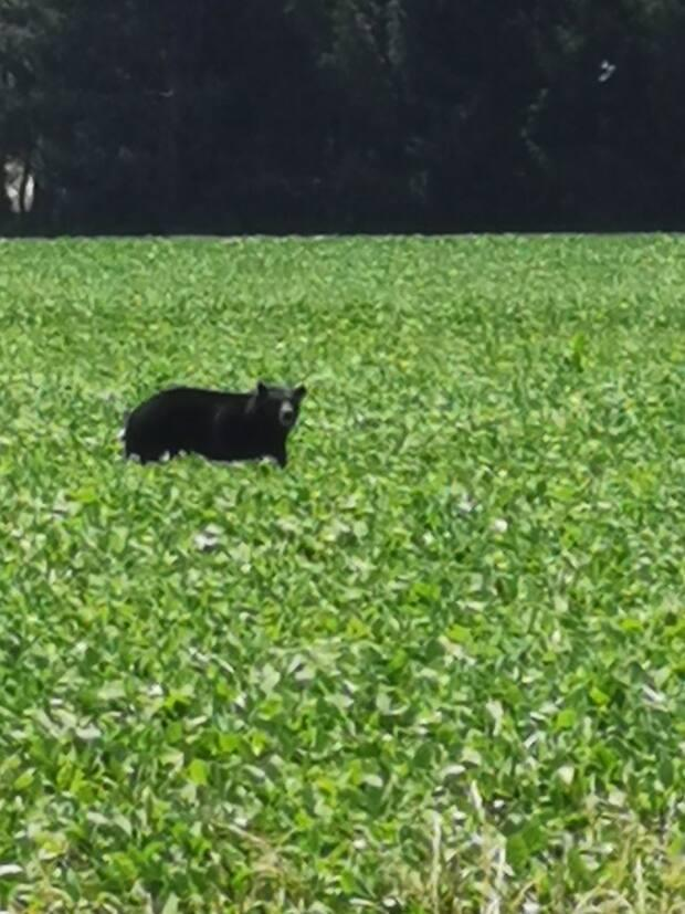 Erin White filmed this bear at the corner of Highway 81 and Elginfield Rd. in a soybean field on Sunday, July 4 at 12:35 pm.  (Submitted by Erin White - image credit)