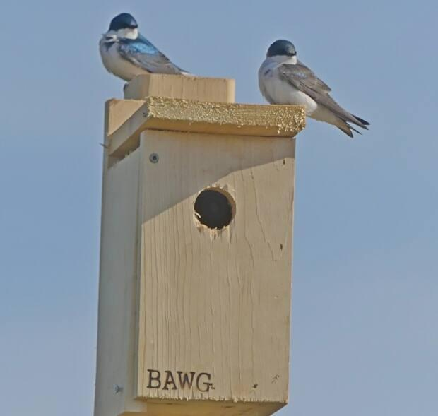 Tree swallows sometimes need help finding a nest to lay their eggs, so the Belfast Area Watershed Group and others create these nesting boxes.