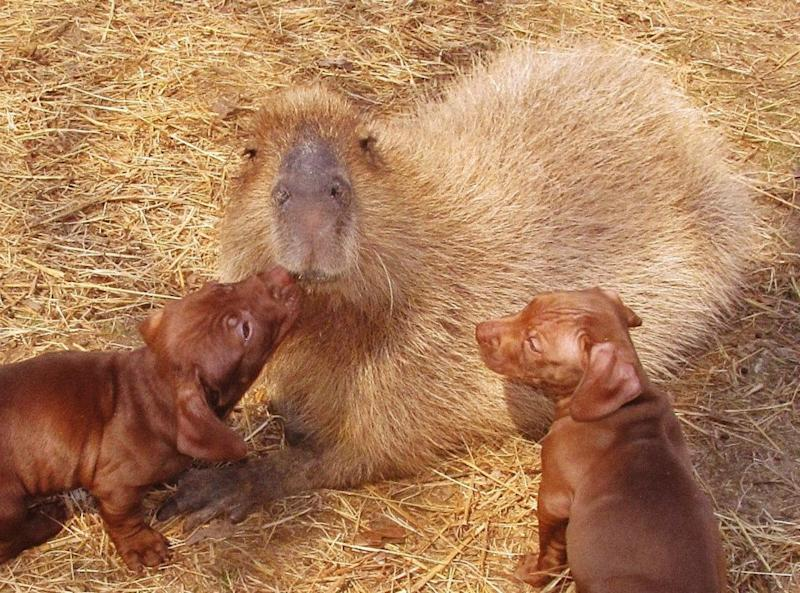 Dachshund Pups Caught Nuzzling With a Capybara