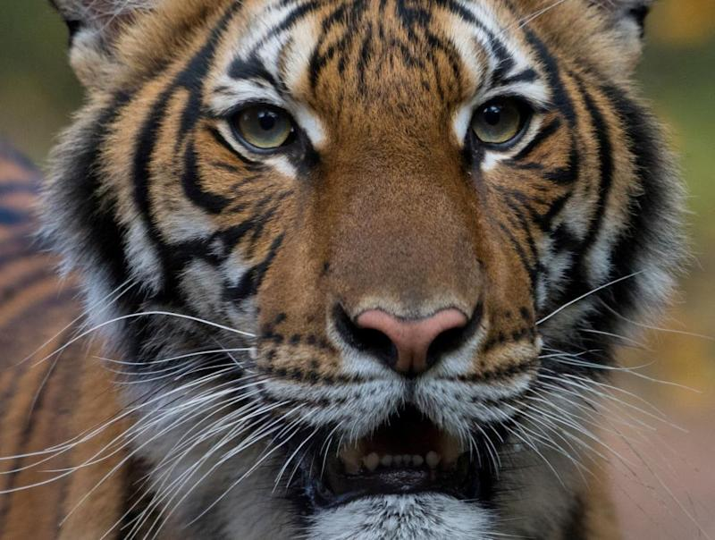 Nadia, a four-year-old female Malayan tiger at the Bronx zoo in New York, has tested positive for coronavirus.