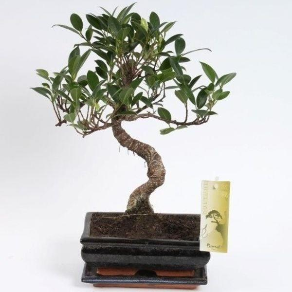 "<h3><a href=""https://www.florastore.com/en/bonsai-s-shape-ficus-20cm.html?source_campaign=smart_shopping_uk&gclid=EAIaIQobChMIwJ75kJev4wIVxODICh0sWAXoEAkYByABEgLBv_D_BwE"" rel=""nofollow noopener"" target=""_blank"" data-ylk=""slk:FloraStore Bonsai Ficus S Shape"" class=""link rapid-noclick-resp"">FloraStore Bonsai Ficus S Shape</a></h3><p>Add a meaningful break to each workday by showing your bonsai a little love. Helping a bonsai thrive can be challenging, but if you succeed it can bring even more satisfaction to your work life.</p><p><strong>Size:</strong> 20cm</p><br><br><strong>Florastore</strong> Bonsai Ficus S shape 20 cm, $25.56, available at <a href=""https://www.florastore.com/en/bonsai-s-shape-ficus-20cm.html?source_campaign=smart_shopping_uk&gclid=EAIaIQobChMIwJ75kJev4wIVxODICh0sWAXoEAkYByABEgLBv_D_BwE"" rel=""nofollow noopener"" target=""_blank"" data-ylk=""slk:Florastore"" class=""link rapid-noclick-resp"">Florastore</a>"