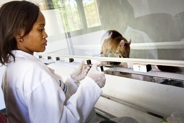 A HeroRAT trains to detect TB samples. (Photo: APOPO)