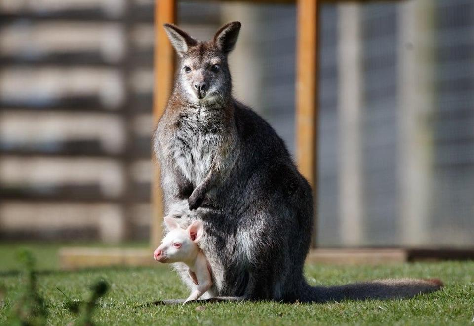 A file picture of an baby wallaby with his mother  (PA Wire)