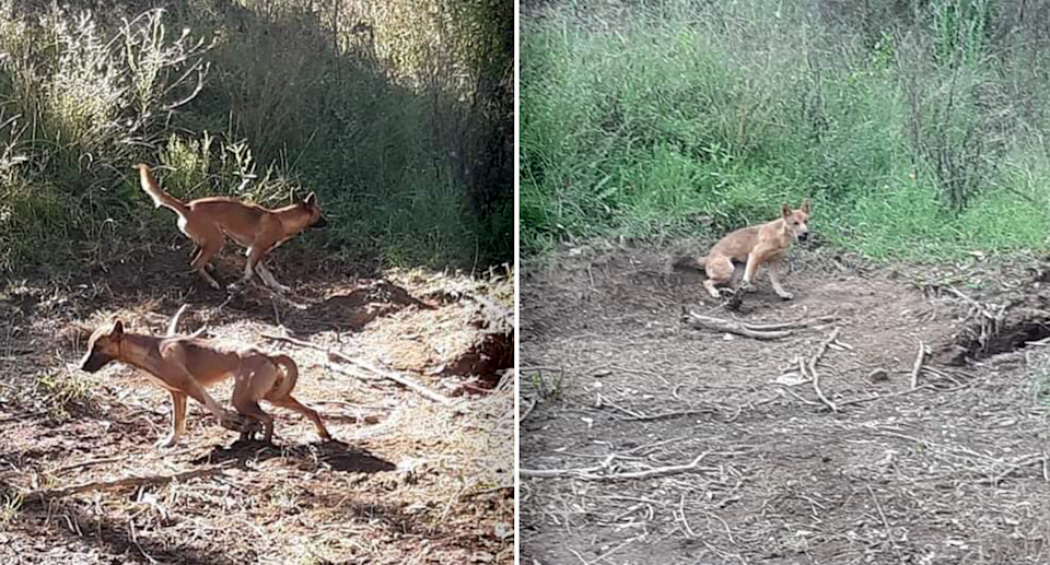 Two images of dingoes caught in foothold traps.
