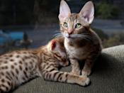"<p>While <a href=""https://www.dailypaws.com/cats-kittens/cat-breeds/ocicat"" rel=""nofollow noopener"" target=""_blank"" data-ylk=""slk:Ocicats"" class=""link rapid-noclick-resp"">Ocicats</a> resemble their more wild cousins, they are indeed domestic cats that love to be around their humans. You can also leash train them and take them out on walks and trips. They'll love exploring the outdoors by your side.</p>"