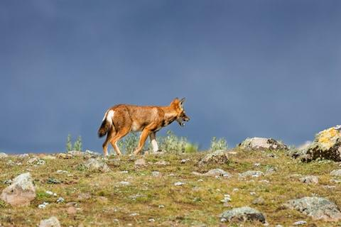 The Ethiopian wolf - Credit: getty