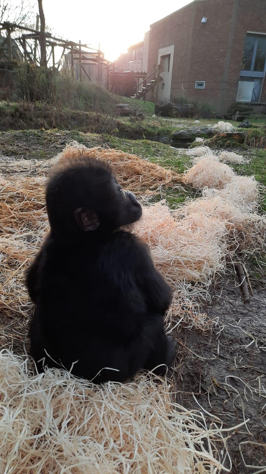 Hasani is being slowly reintroduced to his kind at the zoo (Bristol Zoo)