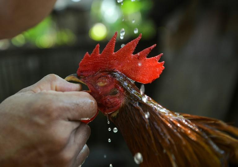 Cockfighting is a popular blood sport in the Philippines where money is bet on the outcome of fights
